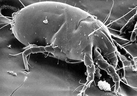 Copyr pco dermatophagoides farinae hughes for Acari polvere