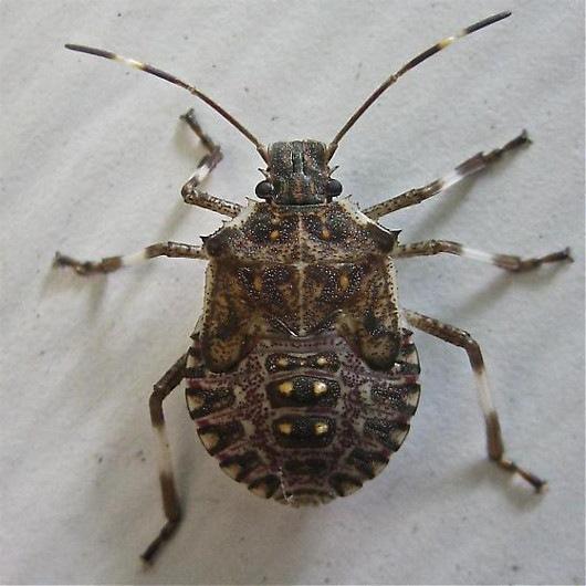 Copyr pco approfondimenti for Cimice insetto
